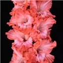 Гладиолус крупноцветковый Solist 5 луковиц