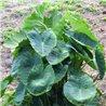 Колоказія Esculenta 1 бульба