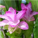 Куркума Zedoaria Pink Wonder 1 цибулина