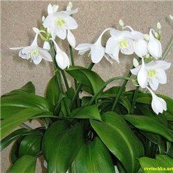 Эухарис Amazonica (лилия амазонская) 1 луковица
