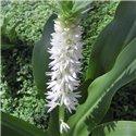 Эукомис Autumnalis 1 луковица