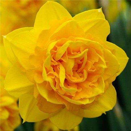Нарцисс махровый Heamoor 2 луковицы