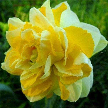 Нарцисс махровый Sweet Pomponette 2 луковицы