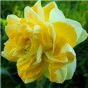 Нарцис махровий Sweet Pomponette 1 цибулина