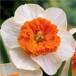 Нарцисс крупно-корончатый Czardas 2 луковицы