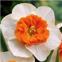 Нарцисс крупнокорончатый Czardas 1 луковица