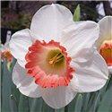 Нарцис великокорончатий Pink Charm 1 цибулина
