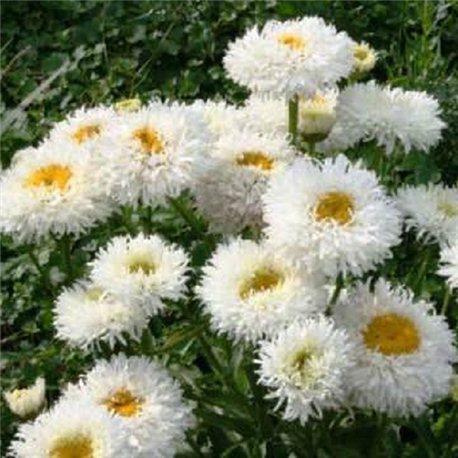 Ромашка крупноцветковая махровая Крейзи Дейзи 1 растение