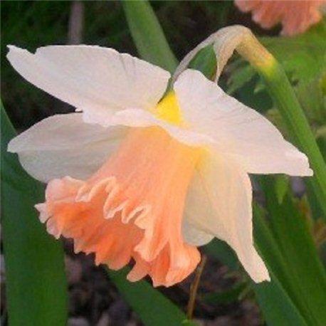Нарцисс трубчатый Wild Carnival 2 луковицы