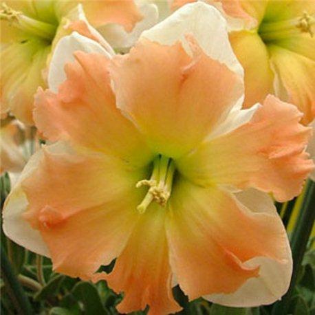 Нарцисс сплит-корона Appel Pie 2 луковицы
