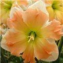 Нарцисс сплит-корона Appel Pie 1 луковица