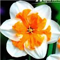 Нарцисс сплит-корона Parisienne 1 луковица