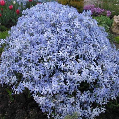 Флокс шиловидный голубой 1 растение в контейнере