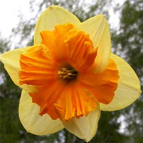 Нарцисс сплит-корона Mondragon 3 луковицы
