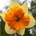 Нарцисс сплит-корона Mondragon 1 луковица