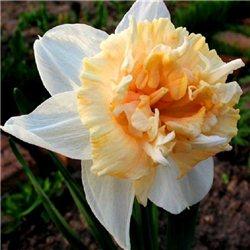 Нарцисс махровый Petit Four 2 луковицы