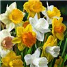 Нарцисс крупнокорончатый микс 5 луковиц