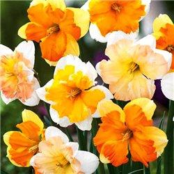 Нарцисс сплит-корона микс 5 луковиц