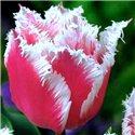 Тюльпан оторочений Bell Song 1 цибулина