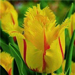 Тюльпан бахромчатый Flamenco 3 луковицы
