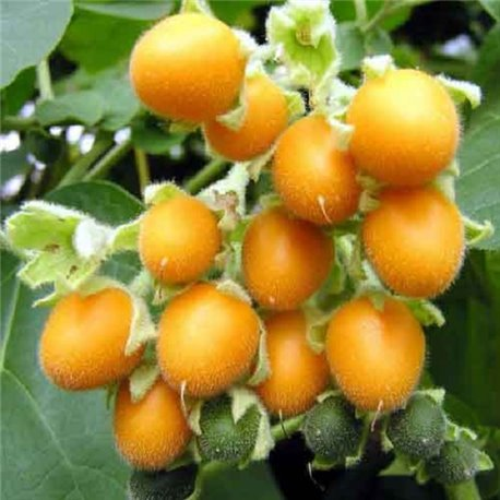 Томатное дерево Тамарилло желтое 1 саженец
