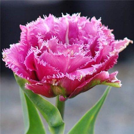 Тюльпан бахромчатый махровый Match Point 3 луковицы