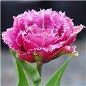 Тюльпан бахромчатый махровый Match Point 1 луковица
