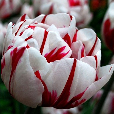 Тюльпан махровый Carnaval de Nice 3 луковицы
