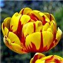Тюльпан махровий пізній Golden Nizza 1 цибулина