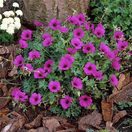 Герань cinereum Subcaulescens 1 растение