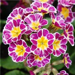 Примула elatior Silver Lace Purple 1 растение