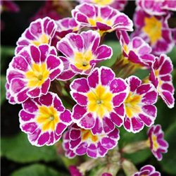 Примула elatior Silver Lace Purple 1 рослина