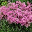 Филипендула rubra Venusta 1 растение
