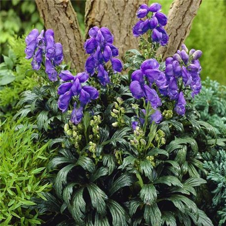 Аконит Fischeri 1 растение