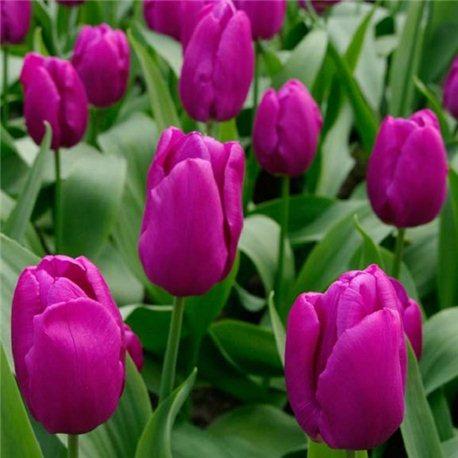 Тюльпан классический Purple Purissima 4 луковицы