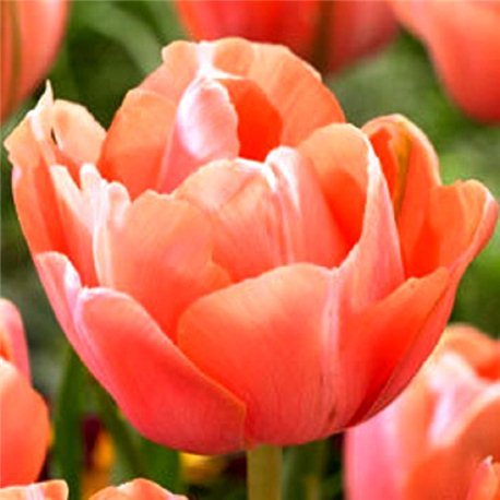 Тюльпан махровый Menton Exotic 3 луковицы