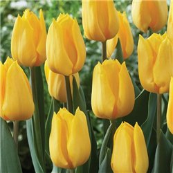 Тюльпан класичний ранній Candela 10 цибулин