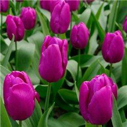 Тюльпан классический ранний Purple Purissima 10 луковиц