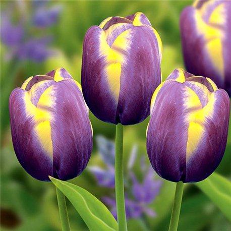 Тюльпан класичний тріумф Arabian Beauty 10 цибулин
