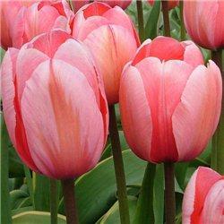 Тюльпан класичний Дарвіна Darwi design 10 цибулин