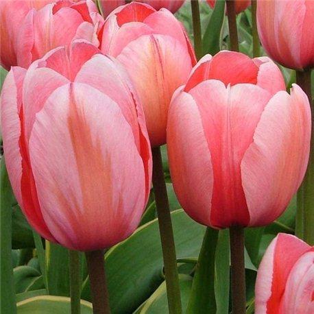 Тюльпан классический Дарвина Darwi design 10 луковиц