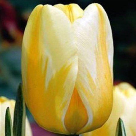 Тюльпан классический Дарвина Jaap Groot 3 луковицы