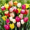 Тюльпан классический триумф микс (детка 100 грамм)