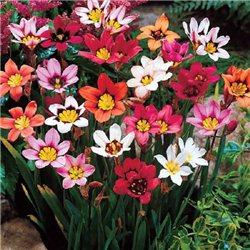 Спараксис Tricolor смесь 15 луковиц