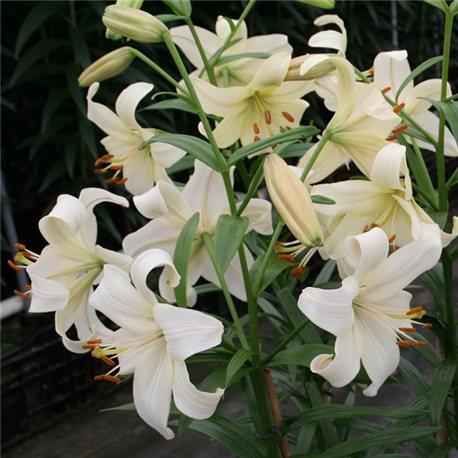 Лилия Pearl White 3 луковицы