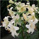 Лилия жемчужная Pearl White 3 луковицы