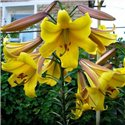 Лилия трубчатая Golden Splendour 3 луковицы
