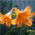 Лилия трубчатая Orange Planet 1 луковица