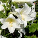 Лилия тигринум White Planet 3 луковицы