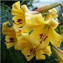 Лилия тигринум Yellow Planet 3 луковицы